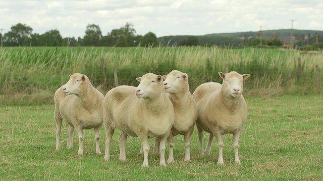 Daisy, Debbie, Dianna y Denise las hermanas clon de Dolly la oveja