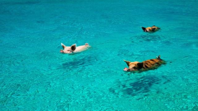 Los cerditos nadadores de Bahamas murieron por ingerir alcohol