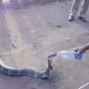 Cobra bebiendo botella agua sequía India