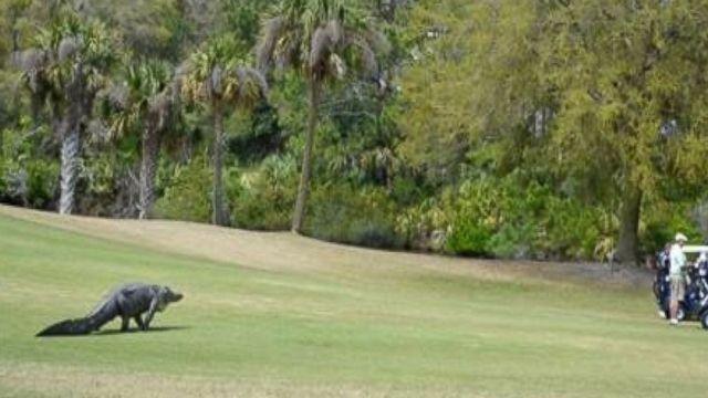 Cocodrilo gigante interrumpe torneo de gol en Carolina del Sur