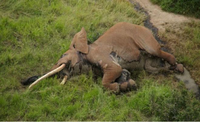 Mataron a Satao II, el elefante africano famoso de Kenia