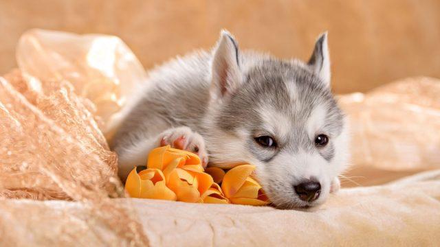Un cachorro de perro husky