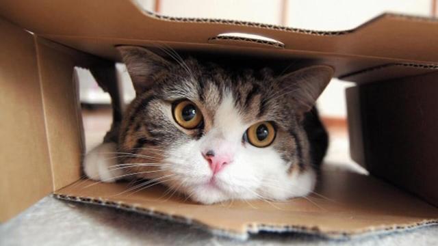 Conoce a Maru, el gato más visto en la historia de YouTube