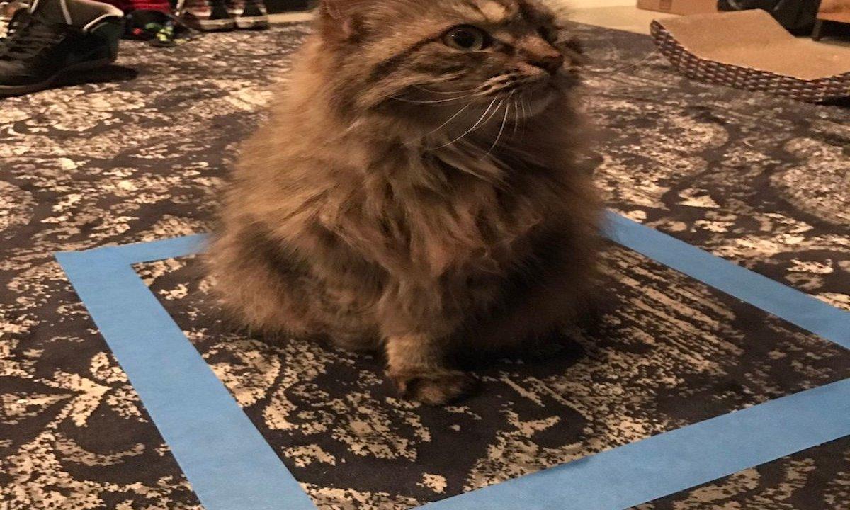 Conoce el experimento con gatos que se está popularizando en redes