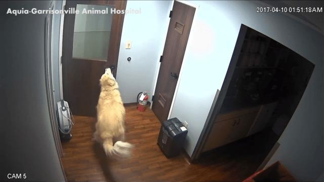 General, el perro gran pirineo que escapó de una veterinaria abriendo puertas