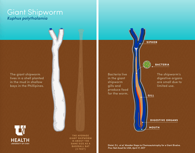 La anatomía del Kuphus polythalamia, un molusco bivalvo