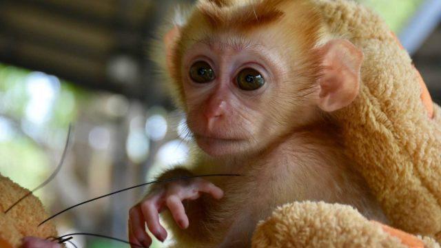 Mongkood, el macaco bebé se aferra a dos peluches tras perder a su familia
