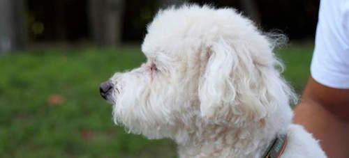 Perro de la raza Bichón