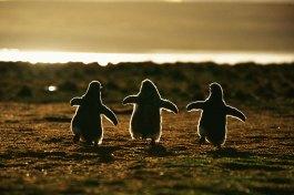 Pingüinos bebé contra el atardecer