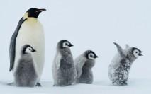Un pingüino emperador con 4 bebés