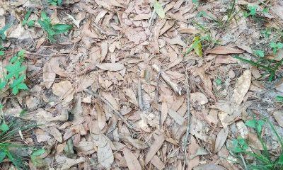 Una serpiente cabeza de cobre (Agkistrodon contortrix) camuflajeada entre ojas secas