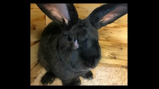 Simon, el conejo que pudo haberse convertido en el más grande del mundo, murió durante un vuelo por United Airlines