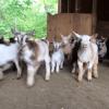 El rancho Sunflower Ranch Creamery está criando 47 cabritas bebé