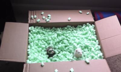 Dos hurones jugando en una caja llena de hule espuma