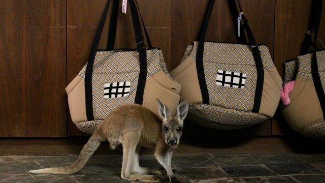 Un canguro bebé en un orfanato, Foto: Serena Solomon