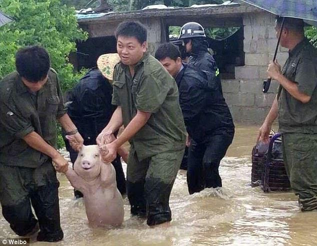 Cerdito feliz de ser rescatado se viraliza
