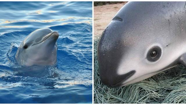 La Semarnat utilizará delfines entrenados para salvar a la vaquita marina
