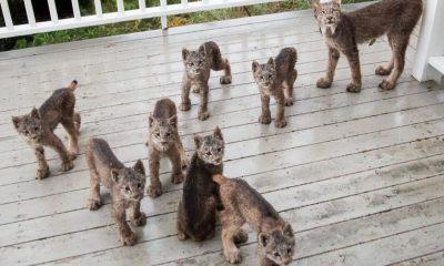 Familia de linces sorprendió a fotógrafo en su casa en Alaska