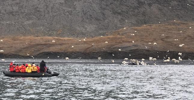 Turistas y científicos sorprenden a grupo de osos polares comiendo una ballena