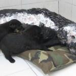 Perrita violentada con aceite hirviendo siguió amamantando a cachorros