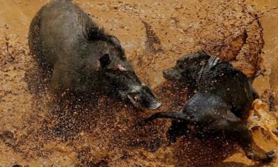 Peleas de Perros, Peleas Clandestinas, Adu Bagong, Cerdo, Perros, Jabalí
