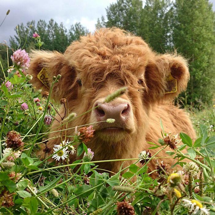 Estas tiernas imágenes de becerros escoceses te harán el día