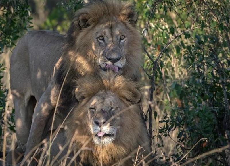 Leones gays escandalizan Kenia: dicen que están poseídos