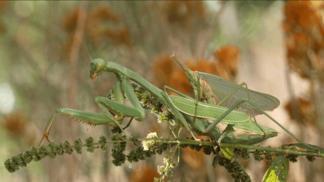 Mantis macho copulando decapitado