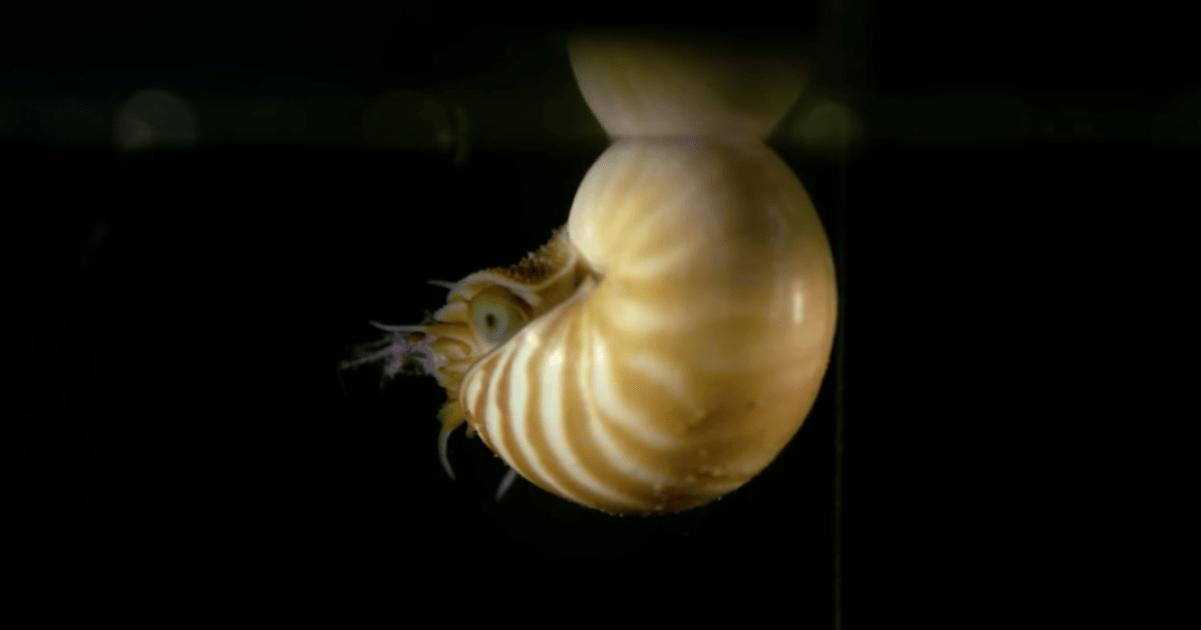 Nautilo bebé del Acuario de la Bahía de Monterey