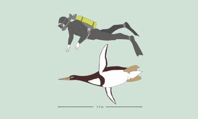 Pingüino, Extinto, Gigante, Descubren, Tamaño, Humano