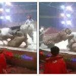 Leon y tigre atacan a caballo en circo