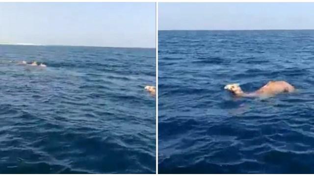 Camellos Kharai nadando en el mar