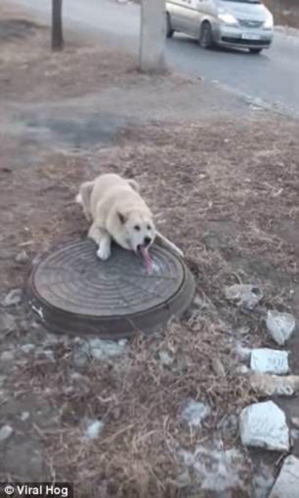 Perro con la lengua pegada en la coladera por el frío