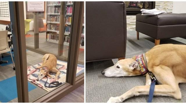 """Sting, el galgo, """"triste"""" en una biblioteca"""