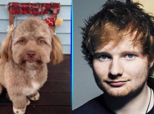 meme perro cara humano Ed Sheeran
