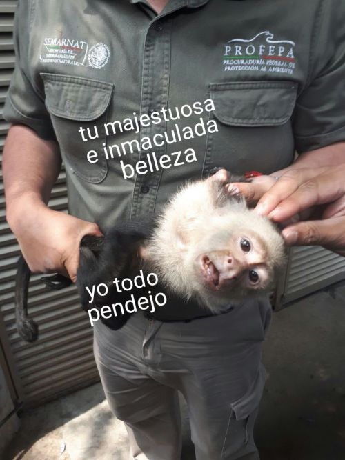 El-mono-capuchino-prófugo-es-capturado-5