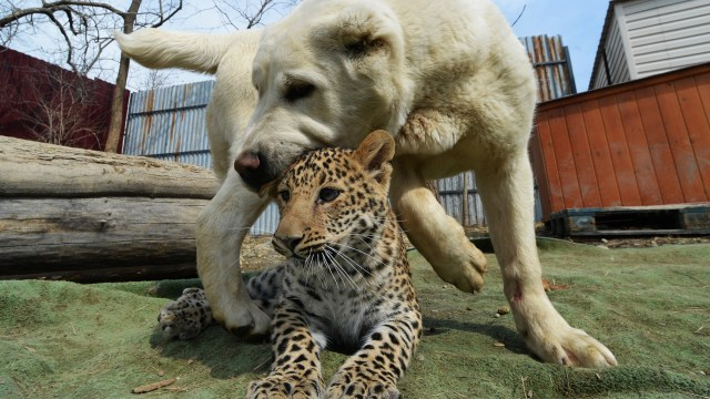 """Perrita que """"apadrinó"""" a un leopardo bebé está enamorando al mundo"""