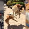 Fotos de perro shiba
