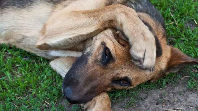 perro-mascota-golpe-de-calor