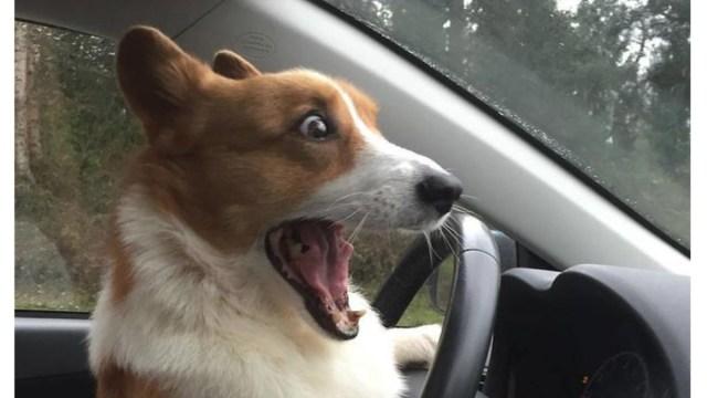 Fotos amarás corgis perros corgi divertidos videos