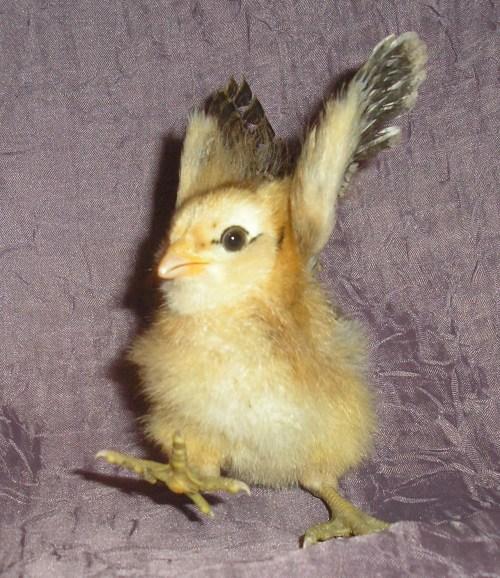 Pollos nacen en camion transportador de huevo