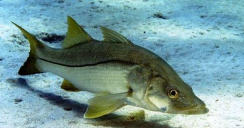 pez-robalo-lubina