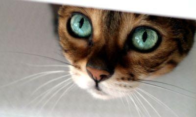 Molly Chang Gato Bengala Ojos Brillantes