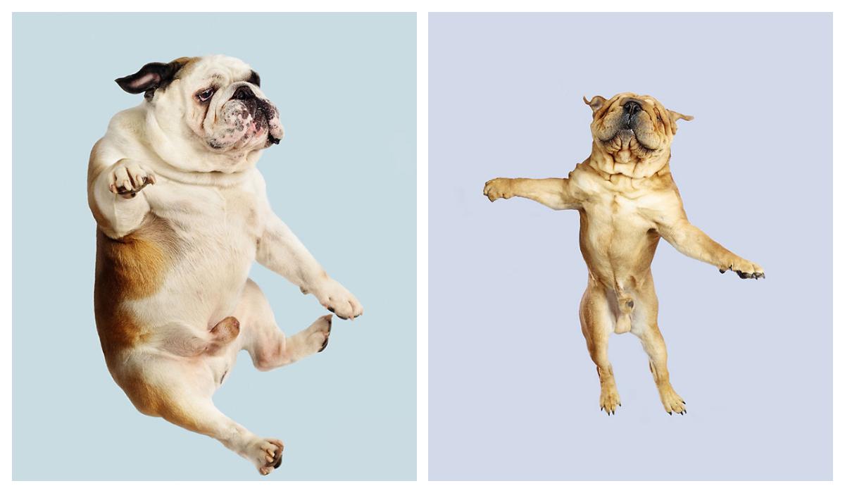 Perros voladores Retratos Divertidos Perros voladores Retratos Divertidos