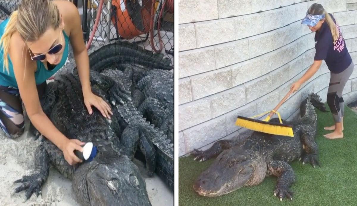 Cocodrilo-cepillado-Limpiar-Caimanes-Rescate-Animal-Florida