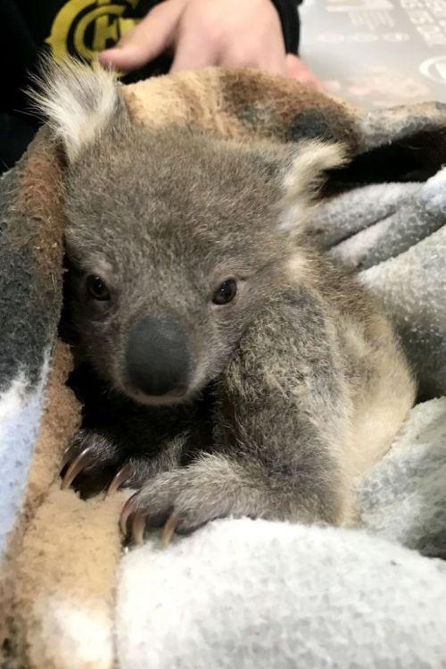 Perro rescata a koala bebe en Australia