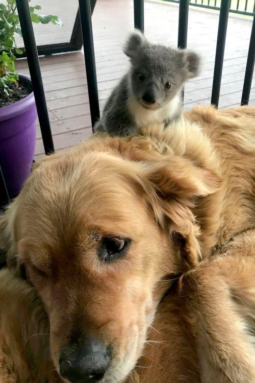 Perro rescata Koala en Australia