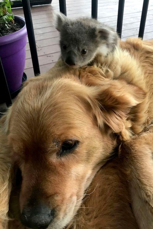 Perro rescata a Koala