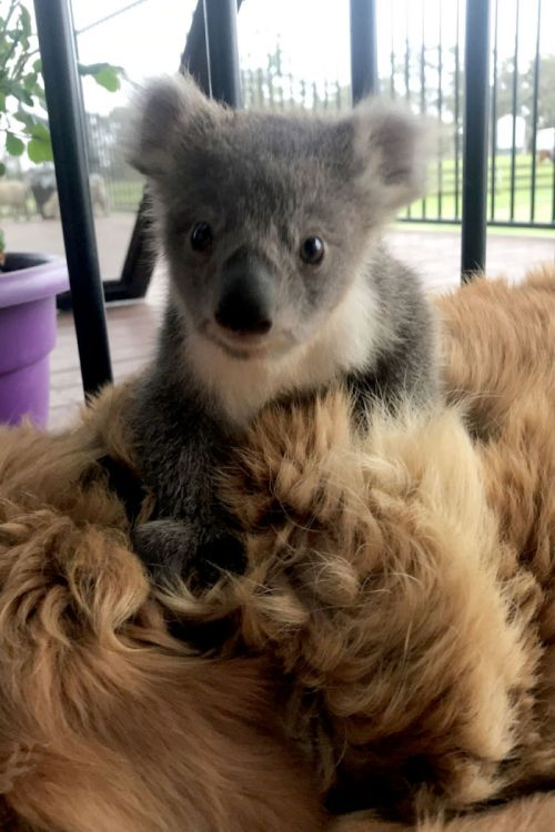 Perro rescata cría de Koala en Australia