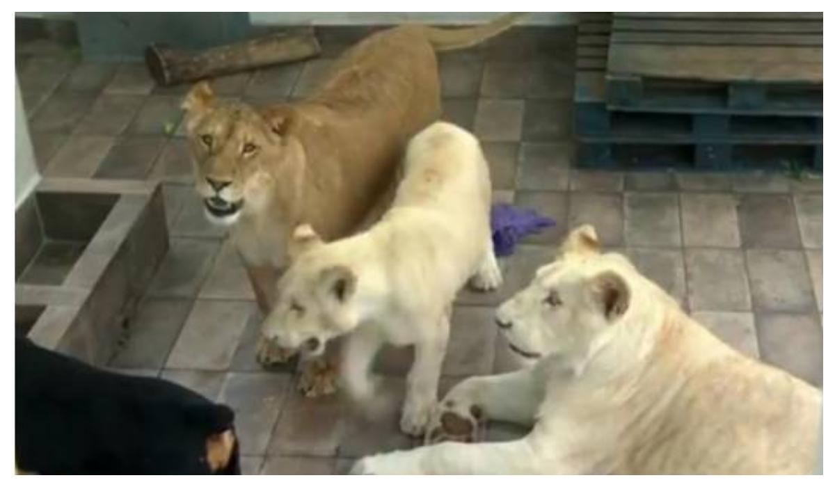 Rescatan tres leones vivían azotea CDMX
